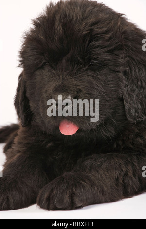 Newfoundland Puppy Canis familiaris Large usually black breed of dog Originated in Newfoundland as a working dog - Stock Photo