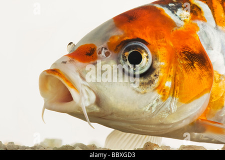 Koi fish Domesticated variety of the common carp Cyprinus carpio bred in different colour patterns Against white - Stock Photo