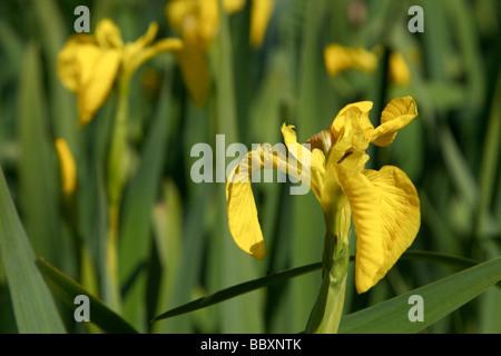 Yellow Flag iris pseudacorus pale yellow iris water flag iridaceae - Stock Photo