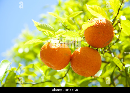 Close-up of organic Spanish Oranges - Stock Photo
