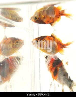 Goldfish reflections Carassius auratus auratus fishtank in a studio - Stock Photo