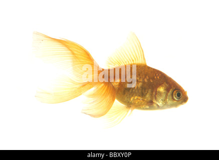 Goldfish cutout Carassius auratus auratus fishtank in a studio - Stock Photo