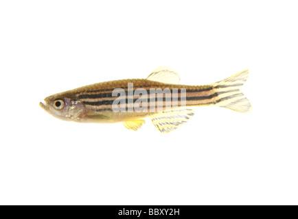 Zebra Danio fish cutout brachydanio rerio studio - Stock Photo