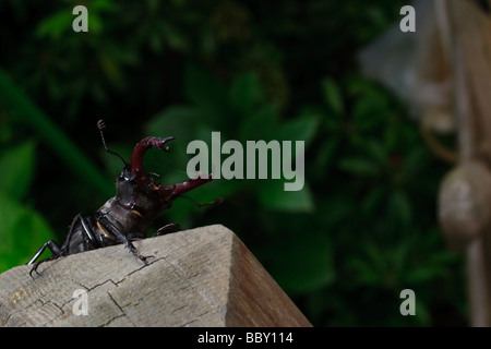 A male stag beetle in the garden - Stock Photo