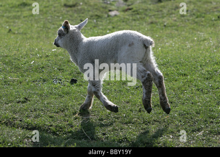 Young Lamb running in a field portrait farm in berkshire - Stock Photo