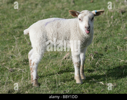 Young Lamb in a field portrait farm in berkshire - Stock Photo