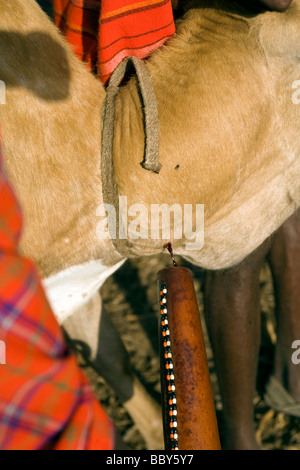 Close-up of Maasai Warriors taking blood from cow - Maji Moto Maasai Village - near Narok, Kenya - Stock Photo