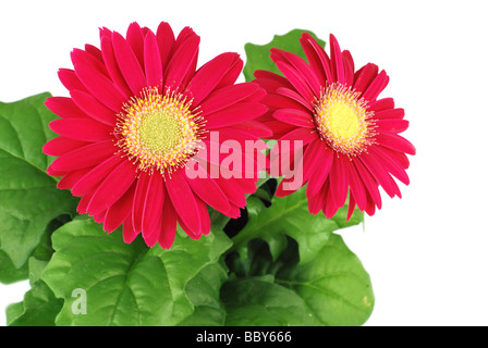 Red gerbera flowers isolated on white with copy space - Stock Photo