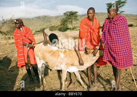 Maasai Warriors taking blood from cow - Maji Moto Maasai Village - near Narok, Kenya - Stock Photo
