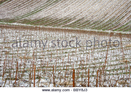 grapevines in winter with snow on the ground - Stock Photo