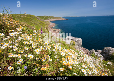 Wildflowers growing on the sea cliffs near Lamorna Cove near Mousehole in Cornwall UK - Stock Photo