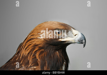 golden eagle isolated on grey background - Stock Photo