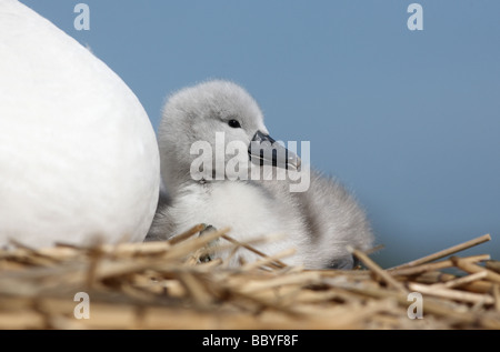 Mute swan Cygnus olor on nest with young Abbotsbury Dorset spring - Stock Photo