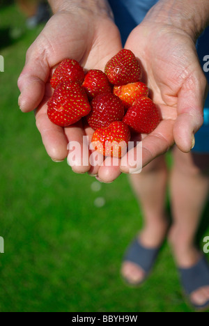 Woman's hands holding ripe strawberries - Stock Photo