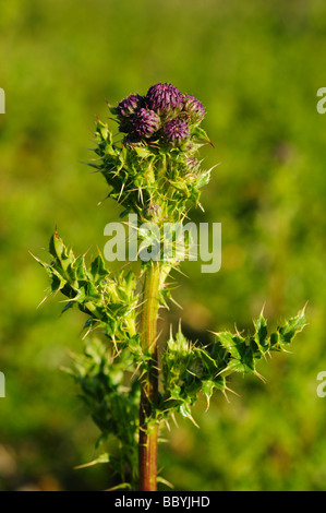 Lesser Burdock Thistle Arctium minus Westleton Walk Dunwich Suffolk - Stock Photo