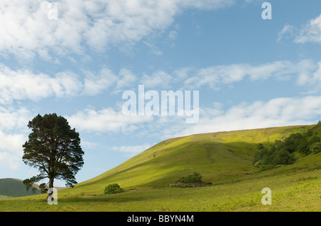 Pinus sylvestris. Single scots pine tree in the rolling hills of the scottish border countryside. Scotland - Stock Photo