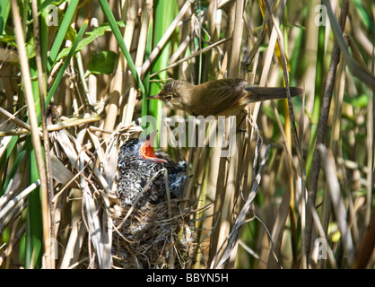 A young Cuckoo(Cuculus canorus) begging food from it's host, a Reed Warbler (Acrocephalus scirpaceus) - Stock Photo