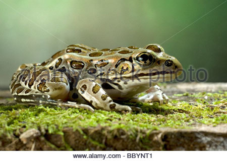 Northern Leopard Frog Rana pipiens adult - Stock Photo