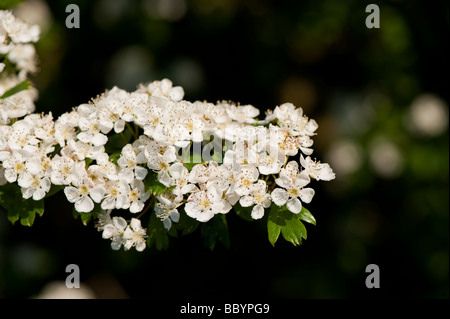 Common Hawthorn Crataegus monogyna blossom in spring England - Stock Photo
