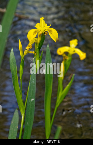 cluster of yellow irises growing along a streambed - Stock Photo