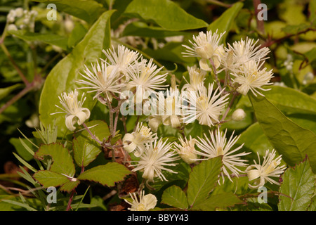 Travellers joy Clematis vitalba Ranunculaceae UK - Stock Photo