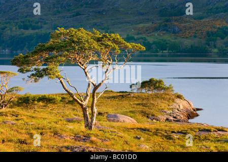 Scots Pine Pinus sylvestris along Loch Maree Wester Ross Scotland - Stock Photo