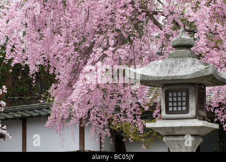 A tree laden with spring cherry blossoms hangs behind a traditional Japanese stone lantern in an artistic composition - Stock Photo