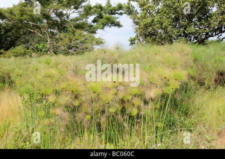 Papyrus Sedge or Paper Reed Cyperus papyrus Mlilwane Wildlife Sanctuary Swaziland South Africa - Stock Photo