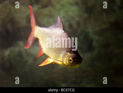 Golden Rudd, Scardinius erythrophthalmus, Cyprinidae. A Freshwater Fish - Stock Photo