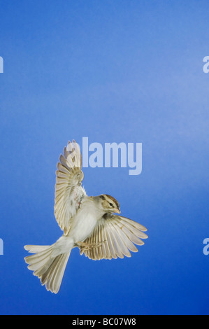 Chipping Sparrow Spizella passerina adult in flight winter plumage New Braunfels Hill Country Texas USA November - Stock Photo