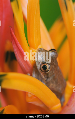 Emerald Glass Frog Centrolene prosoblepon adult in Heliconia Flower Heliconia psittacorum Central Pacific Coast - Stock Photo