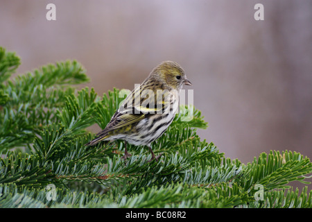Eurasian Siskin Carduelis spinus female perched on spruce branch Zug Switzerland December 2007 - Stock Photo