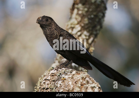 Groove billed Ani Crotophaga sulcirostris adult Willacy County Rio Grande Valley Texas USA June 2006 - Stock Photo