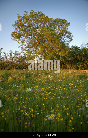 wildflower meadow and large old tree in the english countryside on a warm sunny summer evening - Stock Photo