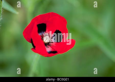 Papaver commutatum - Ladybird Poppy