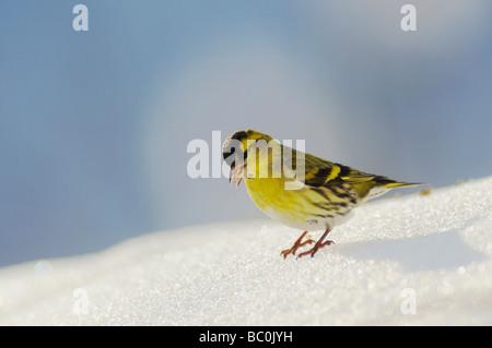 Eurasian Siskin Carduelis spinus male eating seeds on snow Zug Switzerland December 2007 - Stock Photo