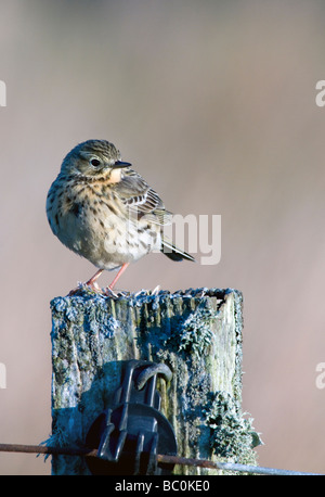 meadow pipit anthus pratensis standing on an old fence post isle of islay scotland - Stock Photo