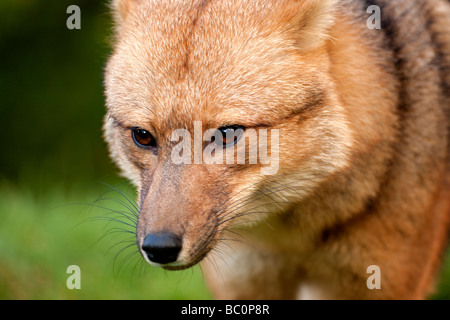Red Fox Female in Torres del Paine National Park, Chile - Stock Photo