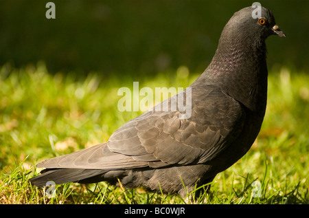A close-up of a feral pigeon in London England UK - Stock Photo
