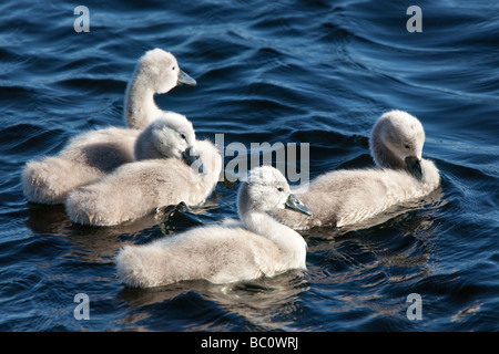 Spring four cute fluffy mute swan Cygnus olor signet on Castle Loch Lochmaben Dumfries and Galloway Scotland UK - Stock Photo