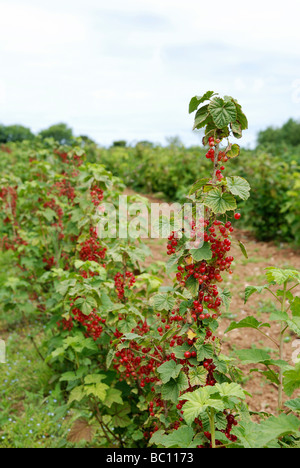 ripe redcurrants on the bush at a pick your own fruit farm in cornwall, uk - Stock Photo