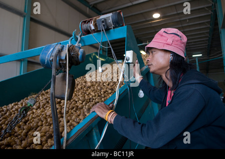 Thai migrant worker a potatoes processing line in Israel - Stock Photo