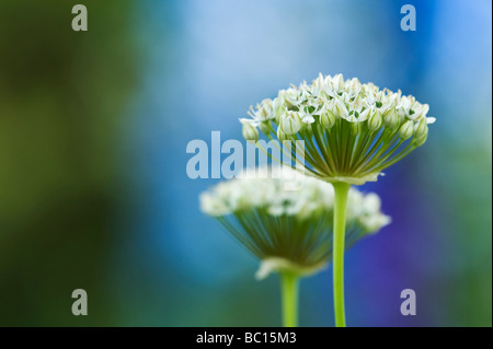 Allium Nigrum. Ornamental onion / black garlic flowers - Stock Photo