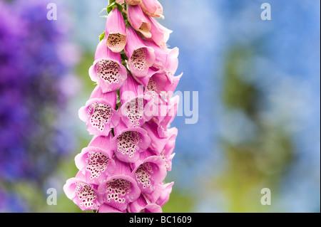 Digitalis purpurea, foxglove in an english garden - Stock Photo