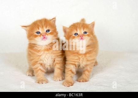 British Longhair Cat kittens 4 weeks Highlander Lowlander Britanica - Stock Photo