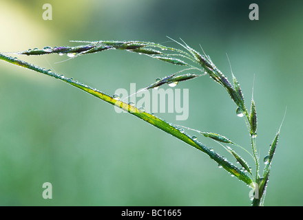Water drops on grass that has gone to seeds - Stock Photo