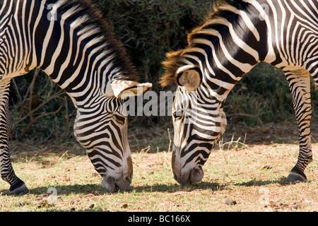 Grevy's Zebra - Samburu National Reserve, Kenya - Stock Photo