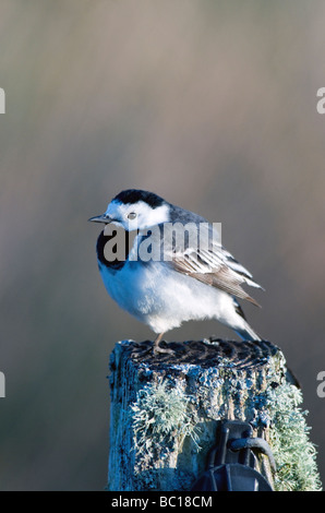 a pied wagtail motacilla alba sitting fluffed up on an old mossy fence post - Stock Photo