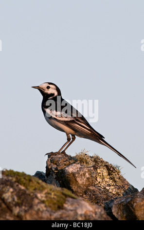 a pied wagtail motacilla alba perched on a stone wall enjoying the early morning sunlight - Stock Photo
