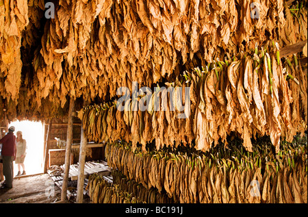 Tobacco leaves hanging to dry in a tobacco shed, Viñales, Pinar del Rio, Cuba - Stock Photo